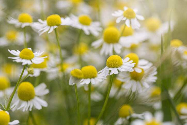Nature scene with a blooming field of  chamomilles, a daisy-like plants of the family Asteraceae. Matricaria chamomilla , wild chamomile.